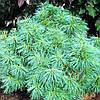 Сосна Валлиха Нана C10 / H40-50