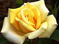 Роза гибридный(а) Беролина GK / H30-50