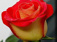 Роза гибридный(а) Френдшип G