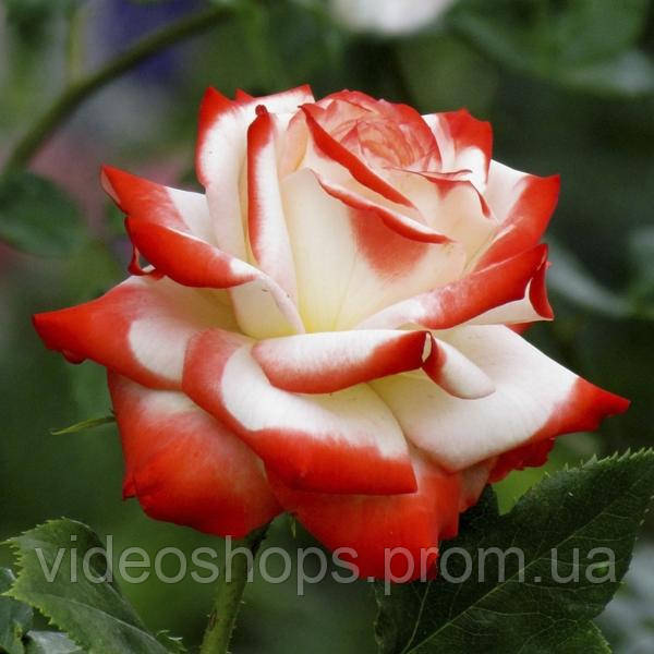 Роза гибридный(а) Императрис Фарах DP G