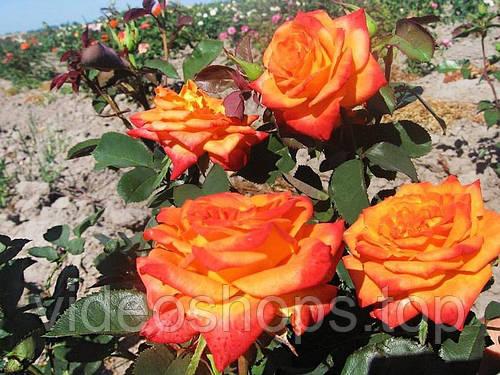 Роза гибридный(а) Моника Stam (Штамб) GK / Pa100