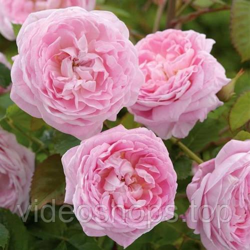 Роза гибридный(а) Куин оф Хертс DP G