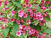 Вейгела цветущая Stam (Штамб) C10 / Pa100