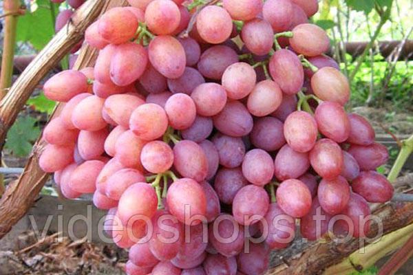 Виноград культурный Кышмыш лучистий (столовый) NN GK