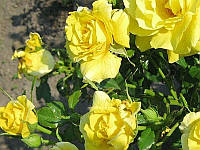 Роза обильноцветущая Фрезия Stam (Штамб) GK / Pa100
