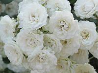 Роза миниатюра Альба Мейланд Stam (Штамб) GK / Pa100