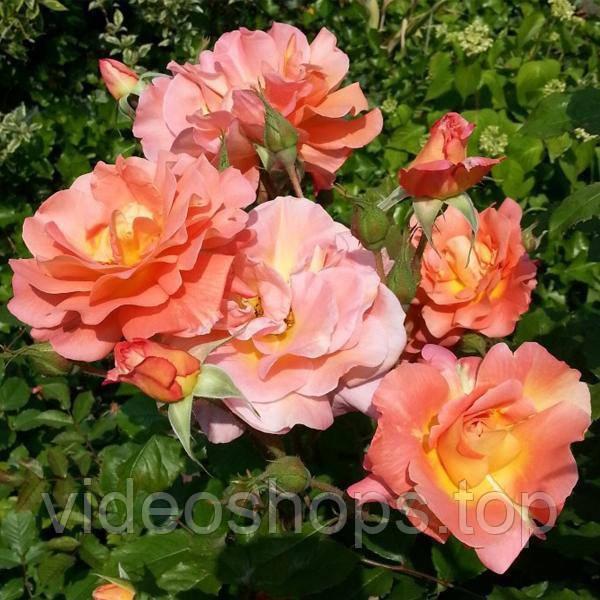 Роза паркова Вестерленд PC17 C2 / H30-50