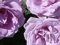 Роза плетистая Блю Мун DP G