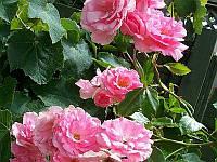 Роза плетистая Бэнтри Бэй Stam (Штамб) GK / Pa100