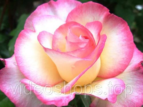 Роза плетистая Хендель DP G