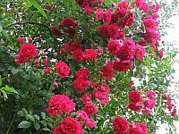 Роза плетистая Эксцельза Stam (Штамб) GK / Pa100
