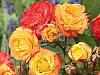 Роза полиантовая Румба PC17 C2