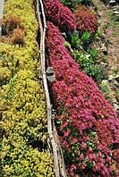 Очитки садовые из грунта в Днепропетровске