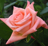 "Саженцы роз ""Інгажемент"", фото 1"