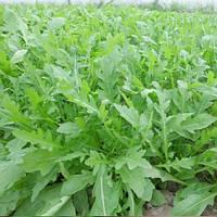 Семена руколы Пруденция 100000 сем. компании Энза