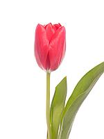 Тюльпан Красный, фото 1