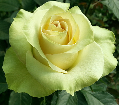 """Саженцы роз """"Киви"""", фото 1"""