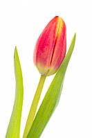 Тюльпан Красно-желтый, фото 1