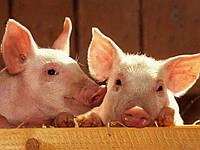 Вентиляция свинарников