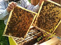 Українська степова Бджолосім'ї бджолопакети Пчелосемьи пчелопакеты , фото 1