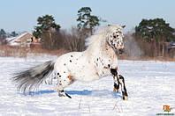 О породах лошадей