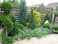 Какие хвойные растения можно посадить на даче