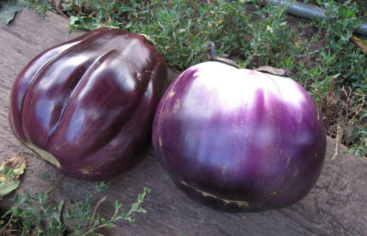 Семена баклажана Гелиос 1 кг , Польша