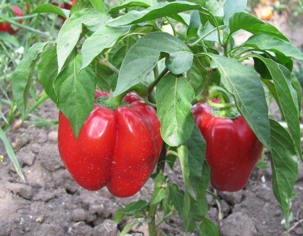 Семена перца Гогошары 1 кг, Польша