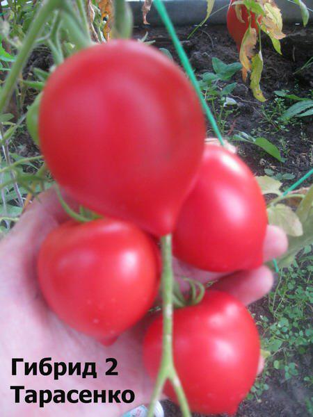 Семена томата Тарасенко 2 Розовый 1 кг , Польша