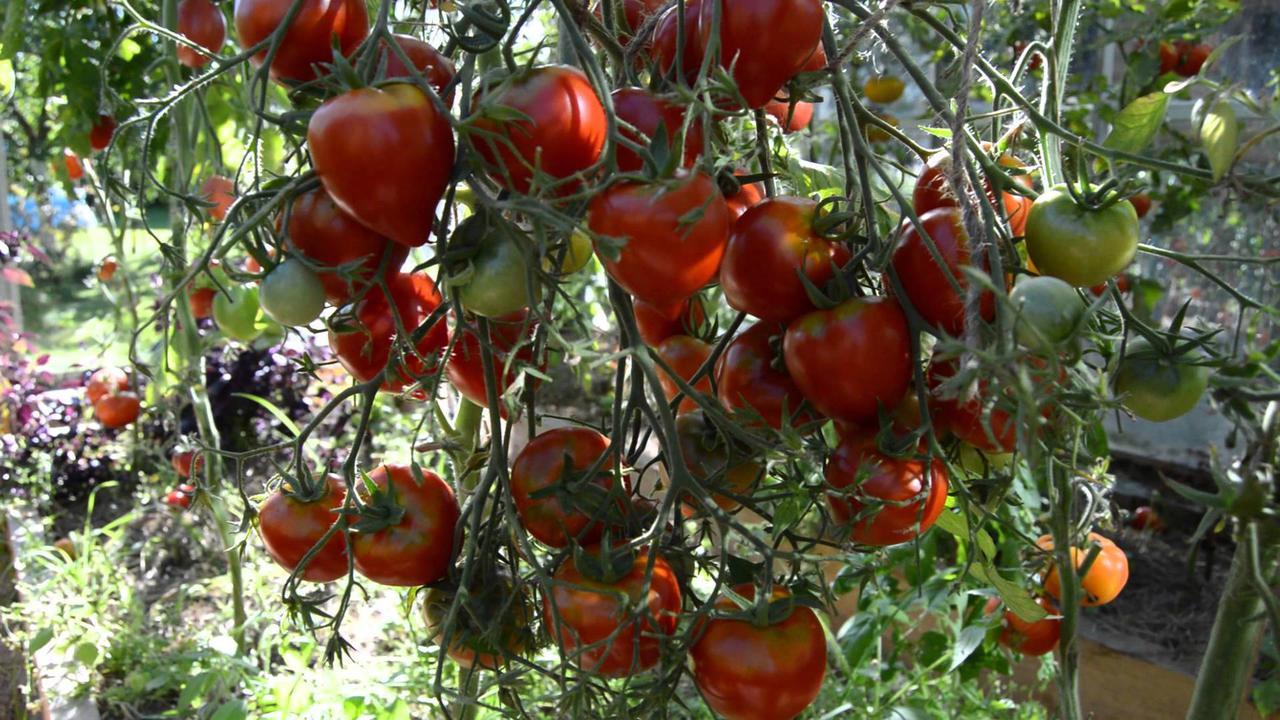 Семена томата гибрид Тарасенко 2 Буденовка 1 кг , Польша