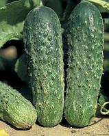 Семена огурца Аякс F1 1000 семян Nunhems