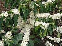Семена кофе Catura Arabica, фото 1