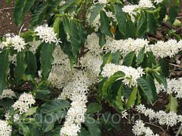 Семена кофе  Sumatra Mandheling