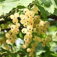 Белоснежка - саженцы белой смородины