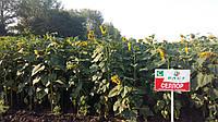 Семена подсолнечника Беллус Ражт (RAGT, Ражт)
