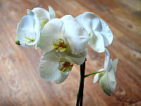 Орхидея Фаленопсис белая Икария