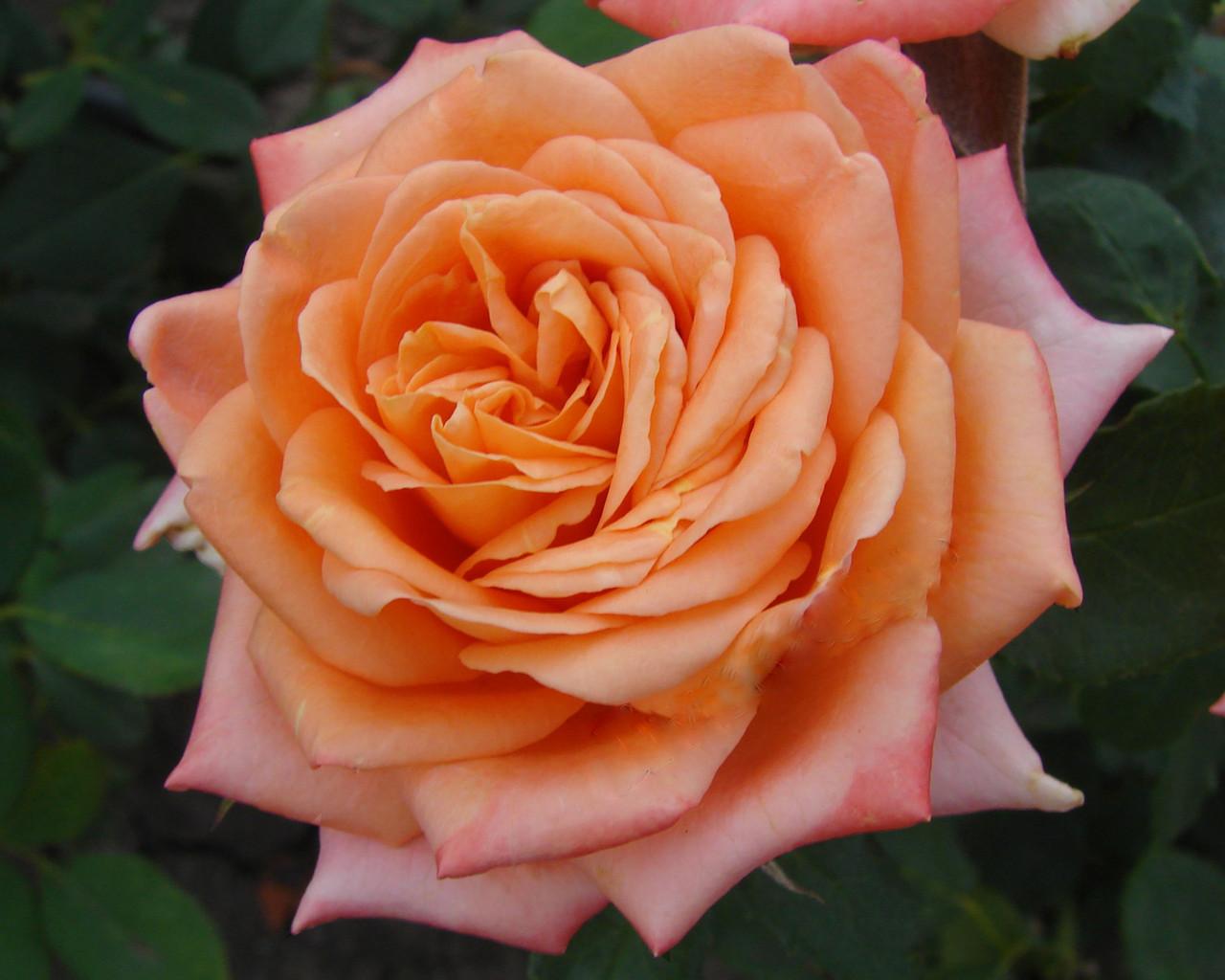 """Саженцы роз """"Ельдорадо"""" (""""Эльдорадо""""), фото 1"""