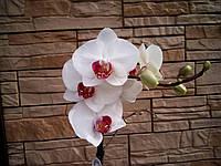 Орхидея Фаленопсис белая с красным центром