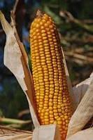 Насіння кукурудзи гібрид Оржиця 237 МВ