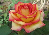 """Саженцы роз """"Амбианс"""", фото 1"""