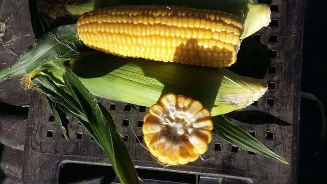 Семена кукурузы  Свитстар F1 100000 семян Syngenta