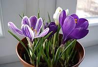 Крокусы цветущие  в горшочке в ассортименте