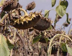 "Семена подсолнечника ""Базальт"""