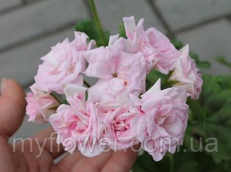 Розебудная пеларгония Achivement