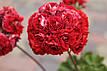 Розебудная пеларгония Bornholm Pelargon, фото 2
