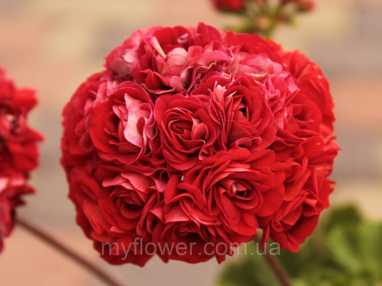 Розебудная пеларгония Bornholm Pelargon