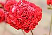 Розебудная пеларгония Bornholm Pelargon, фото 4