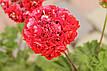 Розебудная пеларгония Bornholm Pelargon, фото 6