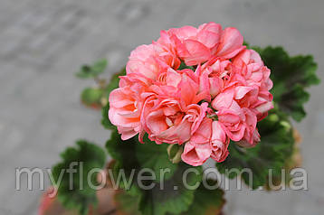 Розебудная пеларгония Denise