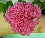 Розебудная пеларгония Noel Gordon, фото 3